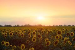 l pola słonecznik Zdjęcie Royalty Free