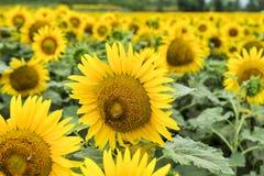 l pola słonecznik obraz royalty free