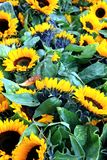 l pola słonecznik Fotografia Royalty Free