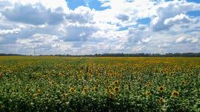 l pola słonecznik obrazy royalty free