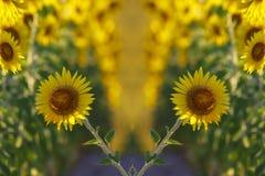 l pola słonecznik obrazy stock