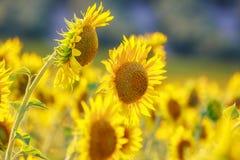 l pola słonecznik Zdjęcie Stock