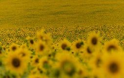 l pola słonecznik Zdjęcia Royalty Free