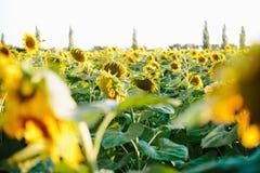 l pola słonecznik Obraz Stock