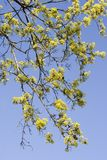 L'érable de floraison Photos libres de droits