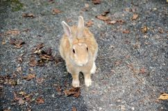 L?sa kaniner p? den Okunoshima ?n arkivbild
