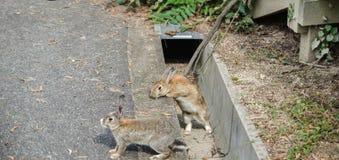 L?sa kaniner p? den Okunoshima ?n royaltyfri fotografi