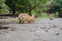 L?sa kaniner p? den Okunoshima ?n arkivbilder