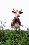 L$signora Cow fotografie stock