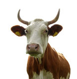 L$signora Cow Fotografie Stock Libere da Diritti
