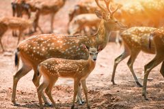 L?st djur f?r prickiga hjortar i nationalparken - andra namn Chital, Cheetal, axelhjort arkivfoto