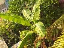 l?ter vara stor ljus t?t green f?r bananen upp treen arkivbild