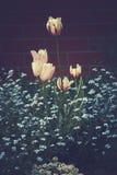 L tulipas brancas da mola que crescem entre miosótis azuis no g Imagem de Stock Royalty Free