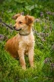L'ubicazione senza tetto redheaded del cane sul giardino nel villaggio Fotografie Stock Libere da Diritti