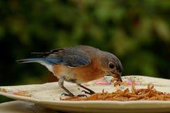 L'uccellino azzurro elimina Immagini Stock Libere da Diritti