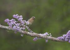 L'uccellino azzurro femminile con il verme nella sua bocca si è appollaiato fra i lillà Fotografia Stock