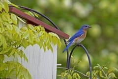 L'uccellino azzurro maschio si siede su una sorveglianza della pertica. fotografia stock libera da diritti