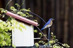 L'uccellino azzurro maschio si siede su una sorveglianza della pertica. immagini stock