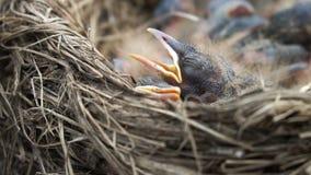 L'uccellino implume neonato del tordo sta dormendo in un nido con la fine aperta del becco su video d archivio