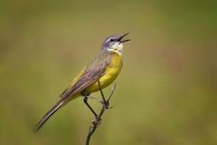 L'uccello è il whinchat su un ramo Immagini Stock