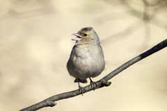 L'uccello è un canto femminile del fringuello nella foresta in primavera Immagini Stock Libere da Diritti