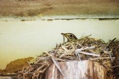 L'uccello è uova da cova in nido Fotografie Stock