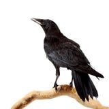 L'uccello Fotografie Stock