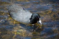 L'uccello acquatico nero della folaga resta da solo nello stagno a Sydney Park fotografia stock libera da diritti