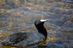 L'uccello acquatico nero della folaga resta da solo nello stagno a Sydney Park fotografia stock