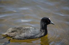 L'uccello acquatico nero della folaga resta da solo nello stagno a Sydney Park immagine stock libera da diritti