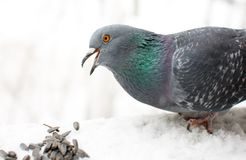 L'uccello affamato Fotografia Stock Libera da Diritti
