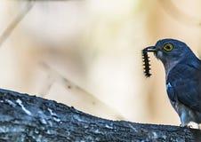 L'uccello in anticipo ottiene il verme - Hawk Cuckoo fotografia stock