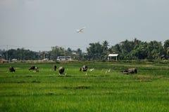 L'uccello bianco della cicogna sorvola un campo di pascolo dei muli dei buoi sull'automobile fotografia stock