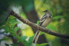 L'uccello bianco della motacilla si siede sul ramo di albero Immagine Stock