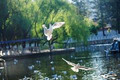 L'uccello bianco prende l'alimento con il suo becco mentre vola nell'aria Immagine Stock