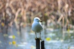 L'uccello bianco sta sul lago basso Fotografia Stock
