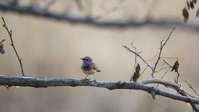L'uccello canoro canta su un ramo e poi su una mosca via di movimento lento stock footage
