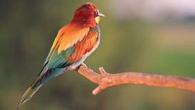 L'uccello colorato esotico che si siede su un ramo ha illuminato magnifico leggero archivi video