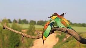 L'uccello colorato prende l'ape di caduta archivi video