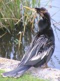 L'uccello del Anhinga attitudinizes Fotografia Stock