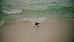 L'uccello del gabbiano decolla sorvolare l'oceano Pacifico Movimento lento Immagine Stock