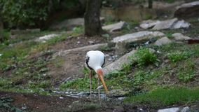 L'uccello della cicogna di leucocephala di Mycteria sta mangiando il pesce nel fiume L'uccello bianco con il becco giallo e le pi video d archivio