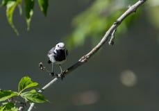 L'uccello della motacilla ha preso la libellula Fotografia Stock
