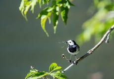 L'uccello della motacilla ha preso la libellula Fotografie Stock