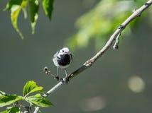 L'uccello della motacilla ha preso la libellula Fotografie Stock Libere da Diritti