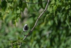 L'uccello della motacilla ha preso la libellula Fotografia Stock Libera da Diritti