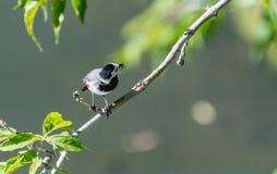 L'uccello della motacilla ha preso la libellula Immagini Stock