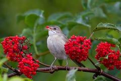 L'uccello della silvia mangia le bacche rosse mature della bacca di sambuco nel giardino dell'estate Immagine Stock