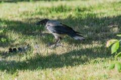 L'uccello della taccola con il becco aperto va sul prato inglese Fotografia Stock Libera da Diritti