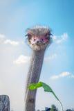 L'uccello dello struzzo fissa alla foglia verde alla campagna dell'azienda agricola dello struzzo Fotografie Stock Libere da Diritti